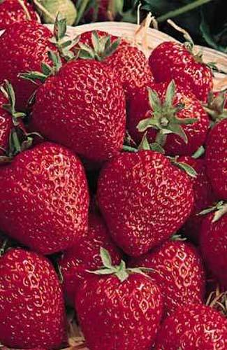 fraises du Quebec