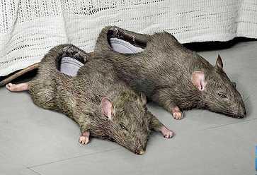 Chaussures Pantoufles_rats